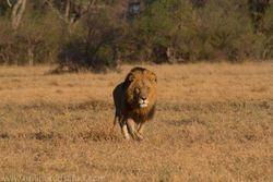 Male Lion at Khwai