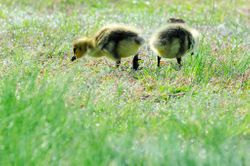Oisons 2e jour - Second-day goslings