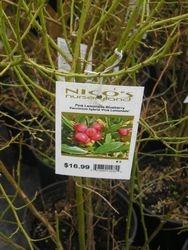 Sweet Pink Lemonade Blueberry