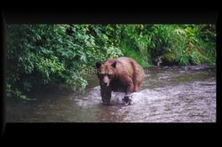 Grizzly Sow wading up creek