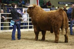 Bull soon to be Grand Champion
