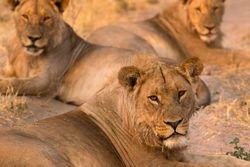 Lion Pride in Savuti