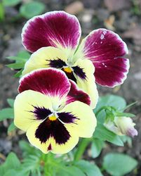 Pansy, viola tricolor var. hortensis