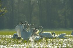 Cygnes tuberculés - Mute Swans