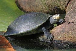 Tartaruga da amazonia ( Podocnemis expansa )