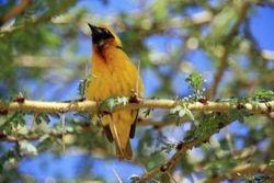 Weaver Bird between Amboseli and Nairobi