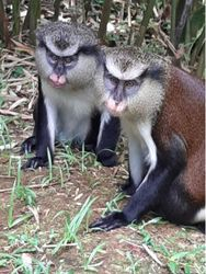 "Two adult male mona monkeys (including ""George"" on the left), Grand Etang NP (2019)"