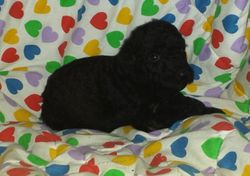 PEARL:  $1495, Female, Black, Airedoodle, born 3-10-16 to Female Giant Airedale Terrier and white Standard Poodle, 2 year health, vet exam, lifetime microchip, utd vaccs and wormings, home raised, care guidance with lifetime support