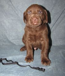 4 Weeks Old - Black Collar Male