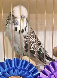 Houston Budgerigar Society