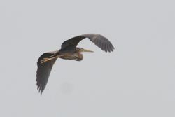 Purple Heron  -  HERON POURPRE
