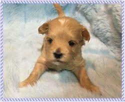 Maltipoo FurBabies Kyden at 3 weeks old