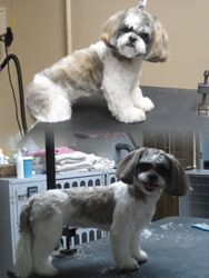 Before/After shih tzu