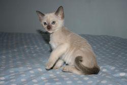 7 weeks old - chocolate girl - Reserved