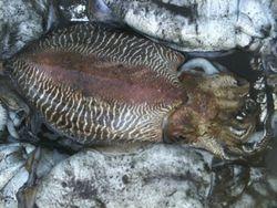 Sepia,cuttlefish