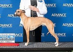 Ginger on the podium Ekka 2017