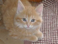 male orange tabby longer hair