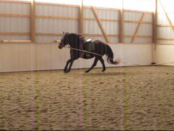 Canter on lunge