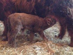Xbi's first calf (Bull)