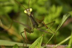 Kudlanka nábozná (Mantis religiosa), male