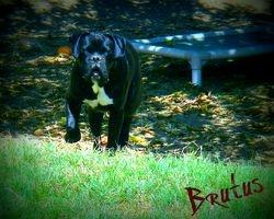 Brutus EURO/AM