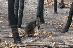 Wallaby Survivor