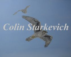 "On the Wing-Prairie Falcons (24 by 30"" acrylic on panel) $650.00"