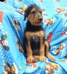 George: $1035, Male, Giant Airedale Terrier, 110+ lbs when grown, born on 3-5-17 to Gili and Buddy, 2 year health guarantee, care recommendations and guidance, vet exam, microchip, home raised