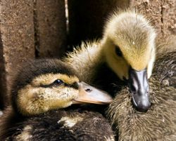 Baby Duck and Goose