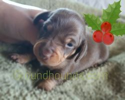 Male chocolate and Tan $700
