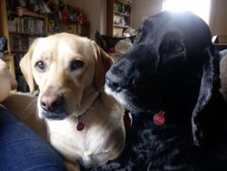 Oreo (Lab cross) and Bertie (Cocker)