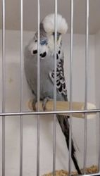 Illinois Budgerigar Society