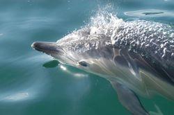 Common dolphin calf