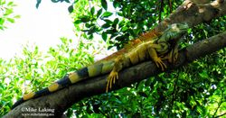 Iguana - November 19, 2015
