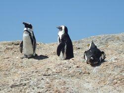 Boulder Penguins, Boulder Beach