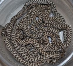 2011 Clutch of Baby Hognoses