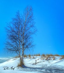 Winter Birch in Color