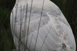 Blue Palm Hen - 4yr
