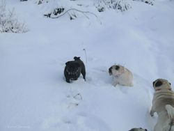 The pugs are playing in the snow