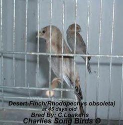Desert finch babies