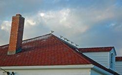 Seagulls overhead in Menemsha