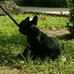 AKC Charlie, MINI , Male, BLACK w/ White, one tiny spec of brindle on paw. French Bulldog Puppy.$2800.00