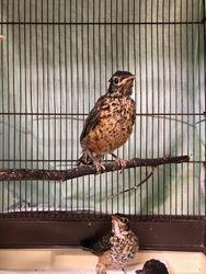 Juvenile Robins