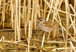 Reed Bunting   (Bruant des roseaux)