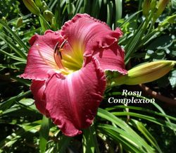 Rosy Complextion