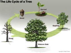 Arbor Day - Life Cyle Graphic