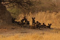 Resting wild dogs