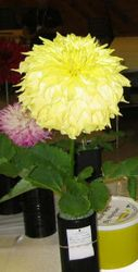 FVDS-07 Big Yellow Seedling