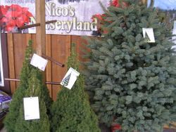 Living Christmas Trees are arriving!