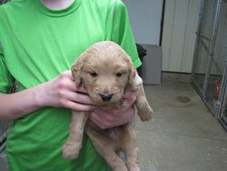 Shangrila Kennel's first Goldendoodle!